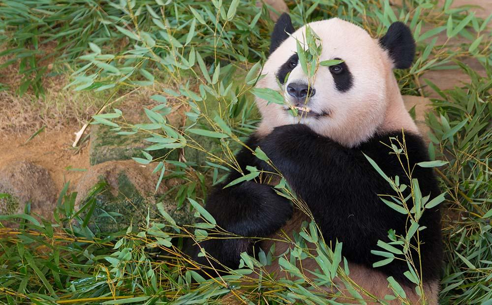 上野動物園のジャイアントパンダ